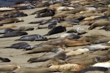 America;American;animal;animals;Big-Sur;CA;California;California-1;California-Central-Coast;California-State-Route-1;Central-Coast;coast;coastal;coasts;crowd;crowded;crowds;elephant-seal;Elephant-seal-colony;elephant-seals;mammal;mammals;marine-mammal;marine-mammals;Mirounga-angustirostris;Northern-Elephant-Seal;Pacific-Coast-Highway;Pacific-Coast-Road;pattern;patterns;Piedras-Blancas;Piedras-Blancas-elephant-seal-rookery;Piedras-Blancas-rookery;Point-Piedras-Blancas;rookeries;rookery;San-Simeon;seal;Seal-colony;Seal-rookery;seals;States;The-Big-Sur;The-Central-Coast;U.S.A;United-States;United-States-of-America;USA;West-Coast;West-United-States;West-US;West-USA;Western-United-States;Western-US;Western-USA;wildlife