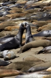 America;American;animal;animals;Big-Sur;CA;California;California-1;California-Central-Coast;California-State-Route-1;Central-Coast;coast;coastal;coasts;crowd;crowded;crowds;elephant-seal;Elephant-seal-colony;elephant-seals;fight;fighting;mammal;mammals;marine-mammal;marine-mammals;Mirounga-angustirostris;Northern-Elephant-Seal;Pacific-Coast-Highway;Pacific-Coast-Road;Piedras-Blancas;Piedras-Blancas-elephant-seal-rookery;Piedras-Blancas-rookery;Point-Piedras-Blancas;rookeries;rookery;San-Simeon;seal;Seal-colony;Seal-rookery;seals;States;The-Big-Sur;The-Central-Coast;U.S.A;United-States;United-States-of-America;USA;West-Coast;West-United-States;West-US;West-USA;Western-United-States;Western-US;Western-USA;wildlife