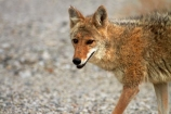 8281;america;american;American-jackal;American-jackals;badwater;Badwater-Basin;basin;brush-wolf;brush-wolves;CA;california;Canid;Canidae;Canids;canis;Canis-latrans;Carnivora;carnivore;carnivores;Close-up;Closeup;close_up;coyote;coyotes;death;Death-Valley;Death-Valley-N.P.;Death-Valley-National-Park;desert;Great-Basin;International-Biosphere-Reserve;latrans;Mammal;Mammals;mojave;Mojave-Desert;national;national-park;National-parks;omnivore;omnivores;park;Portrait;portraits;prairie-wolf;prairie-wolves;predator;predators;states;The-Great-Basin;U.S.A;United-States;United-States-of-America;usa;valley;west-coast;West-United-States;West-US;West-USA;Western-United-States;Western-US;Western-USA;wilderness-area;Wildlife