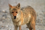 8285;america;american;American-jackal;American-jackals;badwater;Badwater-Basin;basin;brush-wolf;brush-wolves;CA;california;Canid;Canidae;Canids;canis;Canis-latrans;Carnivora;carnivore;carnivores;Close-up;Closeup;close_up;coyote;coyotes;death;Death-Valley;Death-Valley-N.P.;Death-Valley-National-Park;desert;Great-Basin;International-Biosphere-Reserve;latrans;Mammal;Mammals;mojave;Mojave-Desert;national;national-park;National-parks;omnivore;omnivores;park;Portrait;portraits;prairie-wolf;prairie-wolves;predator;predators;states;The-Great-Basin;U.S.A;United-States;United-States-of-America;usa;valley;west-coast;West-United-States;West-US;West-USA;Western-United-States;Western-US;Western-USA;wilderness-area;Wildlife