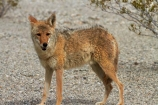 8294;america;american;American-jackal;American-jackals;badwater;Badwater-Basin;basin;brush-wolf;brush-wolves;CA;california;Canid;Canidae;Canids;canis;Canis-latrans;Carnivora;carnivore;carnivores;coyote;coyotes;death;Death-Valley;Death-Valley-N.P.;Death-Valley-National-Park;desert;Great-Basin;International-Biosphere-Reserve;latrans;Mammal;Mammals;mojave;Mojave-Desert;national;national-park;National-parks;omnivore;omnivores;park;prairie-wolf;prairie-wolves;predator;predators;states;The-Great-Basin;U.S.A;United-States;United-States-of-America;usa;valley;west-coast;West-United-States;West-US;West-USA;Western-United-States;Western-US;Western-USA;wilderness-area;Wildlife