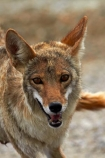 8343;america;american;American-jackal;American-jackals;badwater;Badwater-Basin;basin;brush-wolf;brush-wolves;CA;california;Canid;Canidae;Canids;canis;Canis-latrans;Carnivora;carnivore;carnivores;Close-up;Closeup;close_up;coyote;coyotes;death;Death-Valley;Death-Valley-N.P.;Death-Valley-National-Park;desert;Great-Basin;International-Biosphere-Reserve;latrans;Mammal;Mammals;mojave;Mojave-Desert;national;national-park;National-parks;omnivore;omnivores;park;Portrait;portraits;prairie-wolf;prairie-wolves;predator;predators;states;The-Great-Basin;U.S.A;United-States;United-States-of-America;usa;valley;west-coast;West-United-States;West-US;West-USA;Western-United-States;Western-US;Western-USA;wilderness-area;Wildlife
