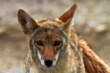 8365;america;american;American-jackal;American-jackals;badwater;Badwater-Basin;basin;brush-wolf;brush-wolves;CA;california;Canid;Canidae;Canids;canis;Canis-latrans;Carnivora;carnivore;carnivores;Close-up;Closeup;close_up;coyote;coyotes;death;Death-Valley;Death-Valley-N.P.;Death-Valley-National-Park;desert;Great-Basin;International-Biosphere-Reserve;latrans;Mammal;Mammals;mojave;Mojave-Desert;national;national-park;National-parks;omnivore;omnivores;park;Portrait;portraits;prairie-wolf;prairie-wolves;predator;predators;states;The-Great-Basin;U.S.A;United-States;United-States-of-America;usa;valley;west-coast;West-United-States;West-US;West-USA;Western-United-States;Western-US;Western-USA;wilderness-area;Wildlife