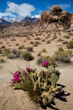 Alabama-Hills;Alabama-Hills-Beavertail;Alabama-Hills-Beavertail-Prickly-Pear;Alabama-Hills-Recreation-Area;America;American;Beavertail-Cacti;Beavertail-Cactus;Beavertail-Prickly-Pear;Beavertail-Prickly-Pears;Beavertail-Pricklypear;Beavertail-Pricklypears;BLM-Alabama-Hills-Recreation-Area;CA;Cactaceae;cactus-flower;cactus-flowers;California;flower;flowers;Inyo-County;Lone-Pine;mountain;mountain-range;mountain-ranges;mountains-range;Opuntia-basilaris-subsp.-whitneyana;Opuntia-basilaris-var.-whitneyana;Opuntia-basilaris-whitneyana;Opuntia-whitneyana;Owens-Valley;pink;pink-flower;pink-flowers;prickly-pear-cactus;pricklypear-cactus;ranges;Sierra-Nevada;Sierra-Nevada-Mountain-Range;Sierra-Nevadas;snow;snow-capped;snow_capped;snowcapped;snowy;States;succulent;U.S.A;United-States;United-States-of-America;USA;West-Coast;West-United-States;West-US;West-USA;Western-United-States;Western-US;Western-USA;wildflower;wildflowers
