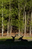 America;American;CA;California;deer;doe;does;female;female-deer;females;forest;forested;forests;mammal;Mirror-Lake-Look-Trail;Mirror-Lake-Loop-Trail;Mirror-Lake-Trail;Mule-deer;national-park;national-parks;Odocoileus-hemionus;Sierra-Nevada;Sierra-Nevada-foothills;silhouette;silhouettes;States;Tenaya-Canyon;tree;trees;U.S.A;UN-world-heritage-area;UN-world-heritage-site;UNESCO-World-Heritage-area;UNESCO-World-Heritage-Site;united-nations-world-heritage-area;united-nations-world-heritage-site;United-States;United-States-of-America;USA;West-Coast;West-United-States;West-US;West-USA;Western-United-States;Western-US;Western-USA;wildlife;world-heritage;world-heritage-area;world-heritage-areas;World-Heritage-Park;World-Heritage-site;World-Heritage-Sites;Yosemite;Yosemite-N.P.;Yosemite-Nat-Pk;Yosemite-National-Park;Yosemite-NP;Yosemite-Valley