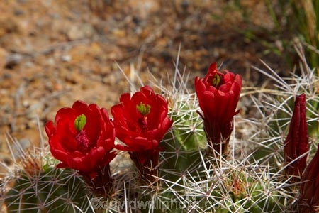 America;American-Southwest;Arches-N.P.;Arches-National-Park;Arches-NP;cacti;cactus;cactus-flower;cactus-flowers;Claret-Cup;Claretcup;desert-flower;desert-flowers;desert-wildflower;desert-wildflowers;Echinocereus-triglochidiatus;hedgehog-cactus;Kingcup-cactus;Moab;Mojave-mound-cactus;national-park;national-parks;red-flower;red-flowers;South-west-United-States;South-west-US;South-west-USA;South-western-United-States;South-western-US;South-western-USA;Southwest-United-States;Southwest-US;Southwest-USA;Southwestern-United-States;Southwestern-US;Southwestern-USA;States;the-Southwest;U.S.A;United-States;United-States-of-America;US-National-Park;US-National-Parks;USA;UT;Utah;wildflower;wildflowers