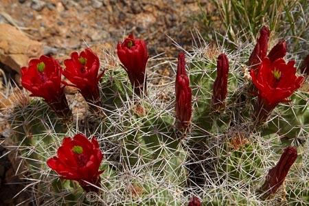 America;American-Southwest;Arches-N.P.;Arches-National-Park;Arches-NP;cacti;cactus;cactus-flower;cactus-flowers;Claret-Cup;Claretcup;desert-flower;desert-flowers;desert-wildflower;desert-wildflowers;Echinocereus-triglochidiatus;hedgehog-cactus;Kingcup-cactus;Moab;Mojave-mound-cactus;national-park;national-parks;red-flower;red-flowers;South-west-United-States;South-west-US;South-west-USA;South-western-United-States;South-western-US;South-western-USA;Southwest-United-States;Southwest-US;Southwest-USA;Southwestern-United-States;Southwestern-US;Southwestern-USA;States;the-Southwest;U.S.A;United-States;United-States-of-America;US-National-Park;US-National-Parks;USA;UT;Utah;wildflower;wildflowers