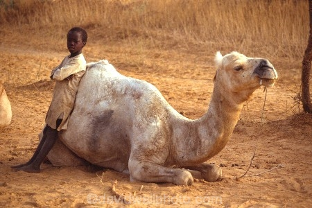 madougou;bandiagara;camels;tradition;traditional;culture;cultural;indigenous;african;africa;malian;mali;boy;camel