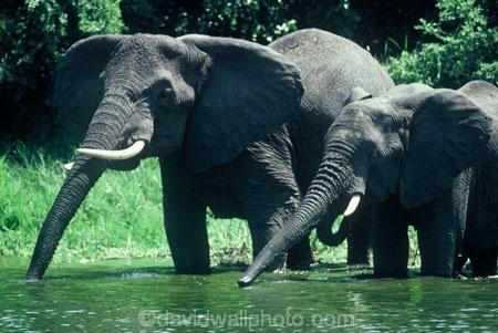 africa;african;animal;animals;elephant;east-africa;pachyderm;pachyderms;wildlife;wild;trunk;tusk;tusks;Loxodonta-africana;ivory;game-park;game-parks;safari;safaris;game-viewing;threatened;endangered;channel;channels;