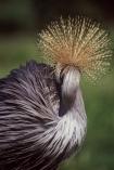 bird;birds;africa;african;animal;animals;Balearica-regulorum;feather;feathers;east-africa;nature;wild;wildlife;cranes;safari;safaris;game-viewing;national-symbol-of-uganda