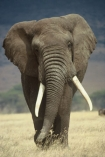 africa;african;animal;animals;elephants;east-africa;pachyderm;pachyderms;wildlife;wild;trunk;tusk;tusks;Loxodonta-africana;ivory;game-park;game-parks;safari;safaris;game-viewing;rift-valley;threatened;endangered