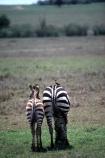 east-africa;africa;african;animal;animals;mammal;wild;wildlife;zoology;plain;plains;savannah;savanna;savanah;savana;grasslands;game-park;game-parks;stripes;black-and-white;stripe;striped;zebras;Equus-burchelli;safari;safaris;game-viewing