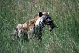 africa;african;animal;animals;mammal;mammals;nature;predator;predators;fur;east-africa;wildlife;wild;zoology;safari;safaris;game-viewing;carnivore;carnivores;omnivore;scavenger;scavengers;spotted-hyena;plain;crocuta-crocuta;erxleben;hyenas;tierwolf;-plain;plains;savannah;savanna;savanah;savana;grasslands;game-park;game-parks;safari;safaris;game-viewing;rift;impala;thompsons-gazelle;head;kill;eat