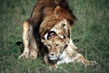 east-africa;africa;african;animal;animals;mammal;mammals;wild;wildlife;zoology;plain;plains;savannah;savanna;savanah;savana;grasslands;game-park;game-parks;cat;cats;feline;felines;predator;predators;carnivore;carnivores;lions;lion;Panthera-leo;pride-leader;dominant;safari;safaris;game-viewing;rift-valley;male;males;female;females;copulate;copulation;bite;bites;reproduce;reproduction;reproduces