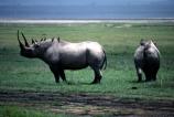safari;safaris;game-viewing;rhinos;rhino;rhinoceros;rhinoceroses;pachyderm;pachyderms;Diceros-bicornis;hook_lipped-rhinoceros;hook-lipped-rhinoceros;game-park;game-parks;national-park;africa;african;animal;animals;wild;wildlife;zoology;endangered;mammal;mammals;threatened;horn;poaching;rift-valley