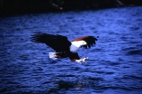 bird;birds;africa;african;animal;animals;feather;feathers;nature;wild;wildlife;safari;safaris;game-viewing;fisheagle;fish_eagle;fishing;fly;flying;flies;wing;wings;talon;talons;claws;claw;Haliaeetus-vocifer;visarend;African-fish-eagle;world-heritage-area