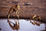 Giraffa-camelopardalis;africa;african;animal;animals;giraffes;mammal;wild;wildlife;reflection;reflections;zoology;long-neck;tall;height;savannah;savanna;savanah;savana;grasslands;game-park;game-parks;safari;safaris;game-viewing;rift-valley;drink;water-hole;black_faced-impala;Aepyceros-petersi