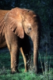 africa;african;animal;animals;elephants;east-africa;pachyderm;pachyderms;wildlife;wild;trunk;Loxodonta-africana;ivory;game-park;game-parks;safari;safaris;game-viewing;threatened;endangered;baby;babies;calf;calves;nose