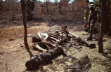 elephants;endangered;pachyderm;pachyderms;shoot;shoots;kill;kills;poach;poacher;poachers;shot;illegal;illegally;death;dead;bone;bones;skeletons;remains;ivory;tusk;tusks;hunt;hunters;hunted