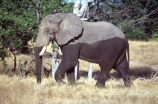 africa;african;animal;animals;elephant;elephants;african-elephant;african-elephants;jumbo;pachyderm;pachyderms;wildlife;wild;mammal;mammals;large;big;enormous;trunk;trunks;Loxodonta-africana;Ivory;tusk;tusks;game-park;game-parks;safari;safaris;game-viewing;threatened;endangered;nose;noses;national-park;national-parks;ear;ears;skin;herbivore;herbivores;wet;half-wet;half-dry;walk;walking;Mana-Pools-National-Park;mana-pools;mana-pools-NP;Zimbabwe;zimbabwean;reserve;reserves;southern-africa
