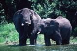 africa;african;animal;animals;elephant;elephants;african-elephant;african-elephants;jumbo;pachyderm;pachyderms;wildlife;wild;mammal;mammals;large;big;enormous;trunk;trunks;Loxodonta-africana;Ivory;tusk;tusks;game-park;game-parks;safari;safaris;game-viewing;threatened;endangered;nose;noses;national-park;national-parks;ear;ears;skin;herbivore;herbivores;Drinking;drink;drinks;Queen-Elizabeth-National-Park;Uganda;uagandan;queen-elizabeth-NP;Kazinga-Chanel;kazinga;east-africa;thirst;thirsty