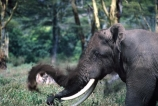 africa;african;animal;animals;elephant;elephants;african-elephant;african-elephants;jumbo;pachyderm;pachyderms;wildlife;wild;mammal;mammals;large;big;enormous;trunk;trunks;Loxodonta-africana;Ivory;tusk;tusks;game-park;game-parks;safari;safaris;game-viewing;threatened;endangered;nose;noses;national-park;national-parks;ear;ears;skin;herbivore;herbivores;Bull;bulls;Ngorongoro-Crater;Ngorongoro-Conservation-Area;Ngorongoro;Tanzania;Tanzanian;east-africa;forest;forests