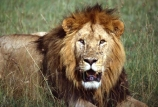 east-africa;africa;african;animal;animals;mammal;mammals;wild;wildlife;zoology;plain;plains;savannah;savanna;savanah;savana;grassland;grasslands;game-park;game-parks;cat;cats;feline;felines;predator;predators;carnivore;carnivores;lions;lion;Panthera-leo;pride-leader;dominant;safari;safaris;game-viewing;rift-valley;masai-mara-national-reserve;masai-mara;maasai;maasai-mara;kenya;kenyan;reserve;reserves;mane;manes;male;males