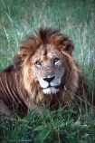 east-africa;africa;african;animal;animals;mammal;mammals;wild;wildlife;zoology;plain;plains;savannah;savanna;savanah;savana;grassland;grasslands;game-park;game-parks;cat;cats;feline;felines;predator;predators;carnivore;carnivores;lions;lion;Panthera-leo;pride-leader;dominant;roar;yawn;yawning;teeth;canines;bite;hungry;hunger;lazy;laziness;roaring;sleepy;tired;sleepiness;mouth;mouths;yell;yelling;shout;shouts;shouting;yells;safari;safaris;game-viewing;rift-valley;masai-mara-national-reserve;masai-mara;maasai;maasai-mara;kenya;kenyan;reserve;reserves;male;males;mane;manes;portrait