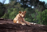 east-africa;africa;african;animal;animals;mammal;mammals;wild;wildlife;zoology;plain;plains;savannah;savanna;savanah;savana;grassland;grasslands;game-park;game-parks;cat;cats;feline;felines;predator;predators;carnivore;carnivores;lions;lion;Panthera-leo;safari;safaris;game-viewing;rift-valley;masai-mara-national-reserve;masai-mara;maasai;maasai-mara;kenya;kenyan;reserve;reserves;rock;female;females;lioness;lionesses