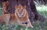 east-africa;africa;african;animal;animals;mammal;mammals;wild;wildlife;zoology;plain;plains;savannah;savanna;savanah;savana;grassland;grasslands;game-park;game-parks;cat;cats;feline;felines;predator;predators;carnivore;carnivores;lions;lion;Panthera-leo;pride-leader;dominant;safari;safaris;game-viewing;rift-valley;masai-mara-national-reserve;masai-mara;maasai;maasai-mara;kenya;kenyan;reserve;reserves;male;males;mane;manes;two;pair;brother;brothers;rest;resting