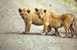 east-africa;africa;african;animal;animals;mammal;mammals;wild;wildlife;zoology;plain;plains;savannah;savanna;savanah;savana;grassland;grasslands;game-park;game-parks;cat;cats;feline;felines;predator;predators;carnivore;carnivores;lions;lion;Panthera-leo;safari;safaris;game-viewing;rift-valley;masai-mara-national-reserve;masai-mara;maasai;maasai-mara;kenya;kenyan;reserve;reserves;young;cub;cubs;baby;babies;two;pair;cute;cuddly
