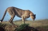 Acinonyx-jubatus;duma;felidae;acinonychinae;africa;african;animal;animals;cat;cats;cheetah;cheetahs;feline;felines;mammal;mammals;nature;predator;predators;hunt;hunter;spotted;spots;spot;fur;southern-africa;fast;fastest;wildlife;wild;zoology;safari;safaris;game-viewing;game-park;game-parks;national-park;national-parks;threatened;endangered;masai-mara-national-reserve;masai-mara;maasai-mara;maasai;masai