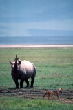 safari;safaris;game-viewing;rhinos;rhino;rhinoceros;rhinoceroses;pachyderm;pachyderms;Diceros-bicornis;hook_lipped-rhinoceros;hook-lipped-rhinoceros;game-park;game-parks;national-park;national-parks;africa;african;animal;animals;wild;wildlife;zoology;endangered;mammal;mammals;threatened;horn;horns;poaching;rift-valley;ngorongoro-crater;ngorongoro-conservation-area;tanzania;tanzanian;ngorongoro;blackbacked-jackal;black_backed-jackal;jackal;jackals