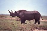 safari;safaris;game-viewing;rhinos;rhino;rhinoceros;rhinoceroses;pachyderm;pachyderms;Diceros-bicornis;hook_lipped-rhinoceros;hook-lipped-rhinoceros;game-park;game-parks;national-park;national-parks;africa;african;animal;animals;wild;wildlife;zoology;endangered;mammal;mammals;threatened;horn;horns;poaching;rift-valley;ngorongoro-crater;ngorongoro-conservation-area;tanzania;tanzanian;ngorongoro