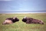 africa;african;animal;animals;east-africa;wildlife;wild;game-park;game-parks;safari;safaris;game-viewing;buffalos;bufalo;water-buffalo;horns;cape-buffalo;Syncerus-caffer;rift-valley;ngorongoro-crater;ngorongoro-conservation-area;tanzania;tanzanian;ngorongoro;pair;two;couple;chat;chatting;talk