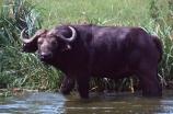 africa;african;animal;animals;east-africa;wildlife;wild;game-park;game-parks;safari;safaris;game-viewing;buffalos;bufalo;water-buffalo;horns;cape-buffalo;Syncerus-caffer;queen-elizabeth-national-park;national-park;national-parks;uganda;ugandan;kazinga-channel;kazinga