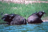 africa;african;animal;animals;east-africa;wildlife;wild;game-park;game-parks;safari;safaris;game-viewing;buffalos;bufalo;water-buffalo;horns;cape-buffalo;Syncerus-caffer;queen-elizabeth-national-park;national-park;national-parks;uganda;ugandan;kazinga-channel;kazinga;pair;two;couple