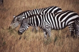 east-africa;africa;african;animal;animals;mammal;wild;wildlife;zoology;plain;plains;savannah;savanna;savanah;savana;grasslands;game-park;game-parks;game-viewing;safari;safaris;stripes;black-and-white;stripe;striped;zebra;zebras;Equus-burchelli;rift-valley;ngorongoro-crater;ngorongoro-conservation-area;tanzania;tanzanian;ngorongoro