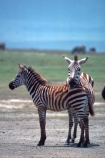 east-africa;africa;african;animal;animals;mammal;wild;wildlife;zoology;plain;plains;savannah;savanna;savanah;savana;grasslands;game-park;game-parks;game-viewing;safari;safaris;stripes;black-and-white;stripe;striped;zebra;zebras;Equus-burchelli;rift-valley;ngorongoro-crater;ngorongoro-conservation-area;tanzania;tanzanian;ngorongoro;baby;babies;calf;calves