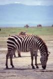 east-africa;africa;african;animal;animals;mammal;wild;wildlife;zoology;plain;plains;savannah;savanna;savanah;savana;grasslands;game-park;game-parks;game-viewing;safari;safaris;stripes;black-and-white;stripe;striped;zebra;zebras;Equus-burchelli;rift-valley;ngorongoro-crater;ngorongoro-conservation-area;tanzania;tanzanian;ngorongoro