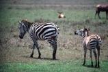 east-africa;africa;african;animal;animals;mammal;wild;wildlife;zoology;plain;plains;savannah;savanna;savanah;savana;grasslands;game-park;game-parks;game-viewing;safari;safaris;stripes;black-and-white;stripe;striped;zebra;zebras;Equus-burchelli;rift-valley;ngorongoro-crater;ngorongoro-conservation-area;tanzania;tanzanian;ngorongoro;baby;babies;calf;calves;mother;mothers