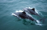 Cephalorhynchus-heavisidii;Heavisides-dolphin;benguela-dolpin;south-african-dolphin;luderitz;namibia;namibian;africa;african;south-west-africa;dolphin;dolphins;marine;mammal;mammals;wildlife;wild;swim;swimmer;ocean;animal;animals;splash;splashes;splashing;porposing;heavy-side-dolphin;heavy_side-dolphin;heavy_sides-dolphin;heavy_sides-dolphins;heavy_side-dolphins;heavy-side-dolphins