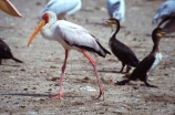 bird;birds;africa;african;animal;animals;feather;feathers;nature;wild;wildlife;safari;safaris;game-viewing;bird-spotting;Yellowbilled-Stork;yellow_billed-stork;stork;Yellowbilled-Storks;yellow_billed-storks;storks;Queen-Elizabeth-National-Park,-;national-park;Uganda;ugandan;Mycteria-ibis;kazinga-channel;kazinga;cormorant;cormorants
