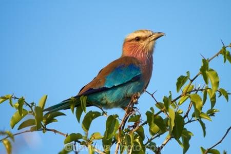 Africa;animal;animals;avian;bird;bird-spotting;bird-watching;bird_watching;birds;Botswana;Coracias-caudatus;eco-tourism;eco_tourism;ecotourism;Fauna;game-drive;game-viewing;Lilac-breasted-Roller;Lilac-breasted-Rollers;Lilac_breasted-Roller;Lilac_breasted-Rollers;Namibia;national-park;national-parks;natural;nature;Nxai-Pan-N.P.;Nxai-Pan-National-Park;Nxai-Pan-NP;Ornithology;reserve;reserves;roller;rollers;Southern-Africa;wild;wilderness;wildlife