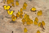 Africa;animal;animals;Botswana;butterflies;butterfly;insect;insects;invertebrate;invertebrates;mammal;mammals;Southern-Africa;wildlife;Yellow-butterflies;Yellow-butterfliy