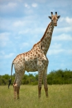 Africa;African;African-plain;African-plains;Angolan-giraffe;animal;animals;Botswana;Chobe-N.P.;Chobe-National-Park;Chobe-NP;game-drive;game-viewing;Giraffa-camelopardalis;Giraffa-camelopardalis-angolensis;giraffe;giraffes;herd;herds;mammal;mammals;national-park;national-parks;natural;nature;plain;plains;reserve;reserves;safari;safaris;Southern-Africa;tall;wild;wilderness;wildlife;wildlife-park;wildlife-parks;wildlife-reserve;wildlife-reserves