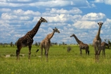 Africa;African-plain;African-plains;Angolan-giraffe;animal;animals;Botswana;game-drive;game-viewing;Giraffa-camelopardalis;Giraffa-camelopardalis-angolensis;giraffe;giraffes;herd;herds;mammal;mammals;Namibia;national-park;national-parks;natural;nature;Nxai-Pan-N.P.;Nxai-Pan-National-Park;Nxai-Pan-NP;plain;plains;reserve;reserves;Southern-Africa;tall;wild;wilderness;wildlife