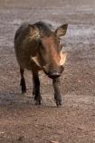Africa;animal;animals;Botswana;Chobe-Safari-Lodge;Common-Warthog;Common-Warthogs;Kasane;mammal;mammals;Phacochoerus-africanus;Phacochoerus-africanus-sundevallii;Southern-Africa;Southern-Warthog;warthog;Warthogs;wildlife