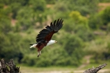 Africa;African-fish-eagle;African-fish-eagles;Animal;animals;avian;bird;bird-of-prey;bird-spotting;bird-watching;bird_of_prey;bird_watching;birds;birds-of-prey;birds_of_prey;Botswana;Chobe-N.P.;Chobe-National-Park;Chobe-NP;eagle;eagles;eco-tourism;eco_tourism;ecotourism;Fauna;fish-eagle;fish-eagles;flight;fly;flying;Haliaeetus-vocifer;Kasane;N.T.;national-park;national-parks;natural;Nature;Ornithology;raptor;raptors;reserve;reserves;safari;safaris;Southern-Africa;wild;wilderness;wildlife;wildlife-park;wildlife-parks;wildlife-reserve;wildlife-reserves;Wing