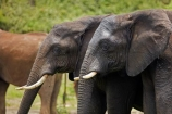 Africa;African-elephant;African-elephants;animal;animals;Botswana;Chobe-N.P.;Chobe-National-Park;Chobe-NP;Chobe-River;Chobe-River-Front;Chobe-River-Front-Region;Chobe-River-Region;Chobe-waterfront;elephant;elephants;Kasane;Loxodonta-africana;mammal;mammals;national-park;national-parks;natural;nature;pachyderm;pachyderms;reserve;reserves;safari;safaris;Southern-Africa;wild;wilderness;wildlife;wildlife-park;wildlife-parks;wildlife-reserve;wildlife-reserves